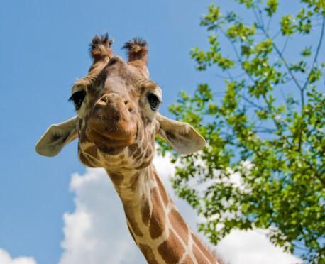 Smorena žirafa