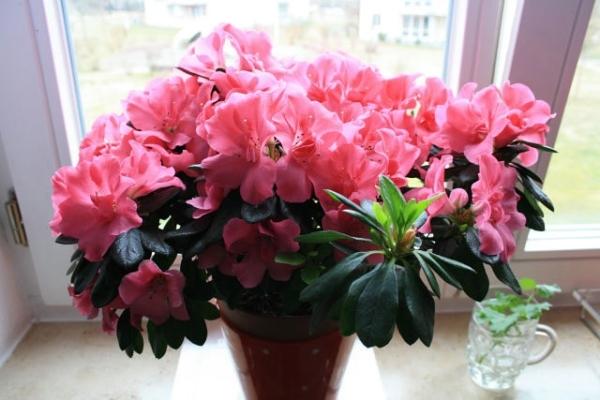 10 неприхотливых комнатных цветов, цветущих круглый год