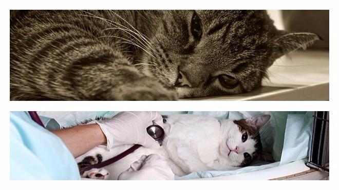 Многоликий перитонит у кошек: как распознать и помочь питомцу? Перитонит у кошек