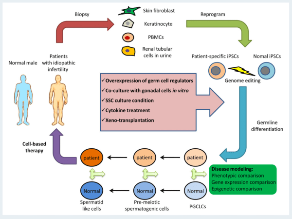Human induced pluripotent stem cells and male infertility ...
