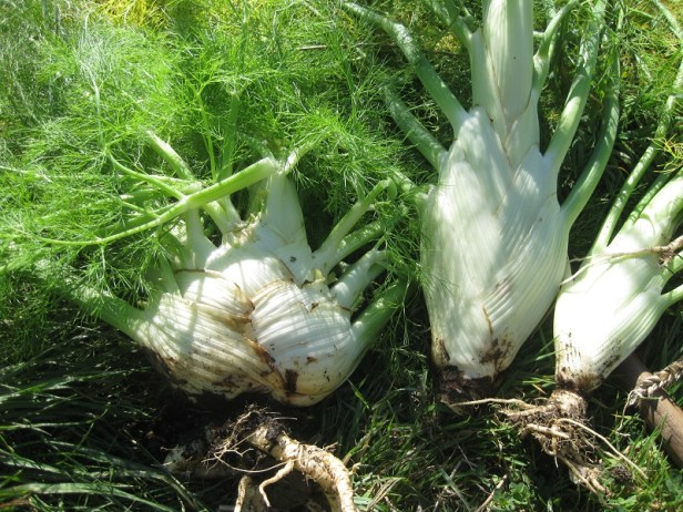 Fennel_Aug (2)
