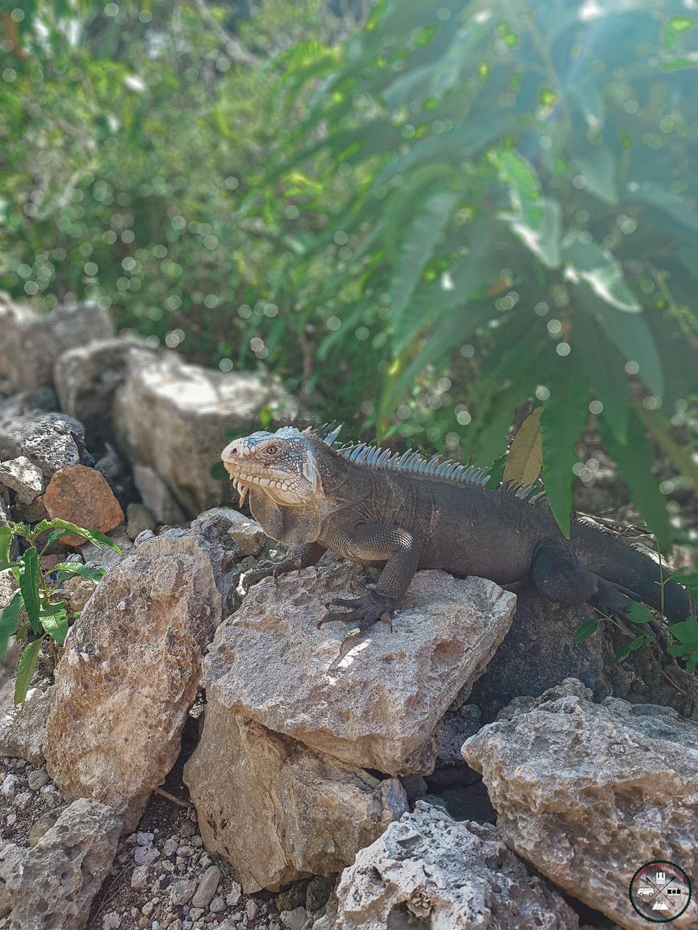 Iguane antillais sur les îles de la Petite-Terre