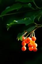©P.Romero: Honeysuckle berries. Winnall Moors, Winchester, UK (2016)