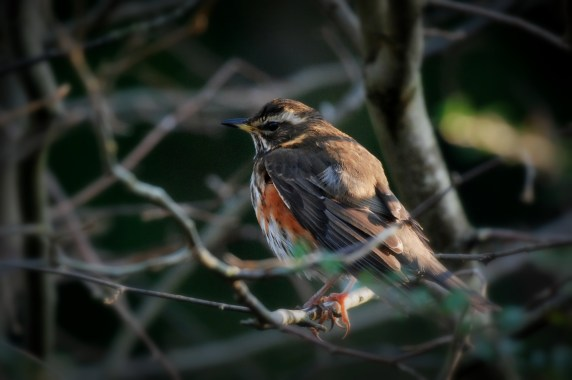 ©P.Romero: Winter visitor to the UK: The Redwing. Winchester, UK (2017)