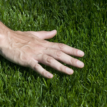 caring for bermuda grass