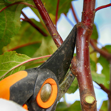 can i prune trees in summer