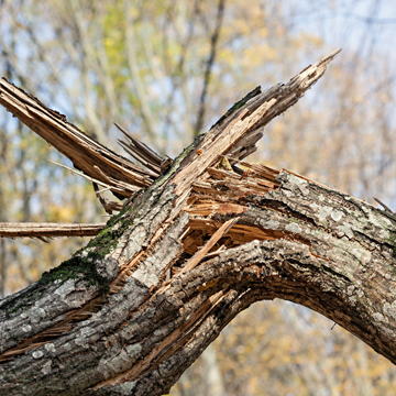 can tree be repaired after storm damage