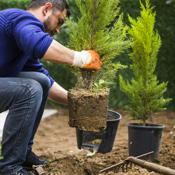 problems with evergreens