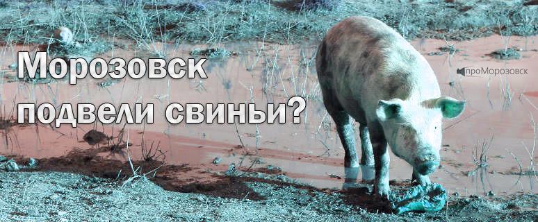 Морозовский район подвели свиньи