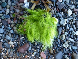 Beach seaweed (Photo © 2017 by V. Nesdoly)