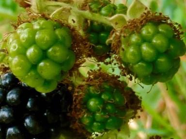 Green blackberries (Photo © 2017 by V. Nesdoly)