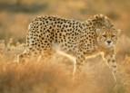 1_cheetah_iran