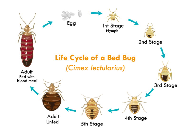 A diagram of the various sizes a bed bug achieves during its life