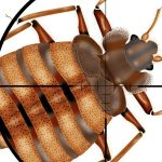 Pronto Pest Managents 3-Phase Bed Bug Removal Plan