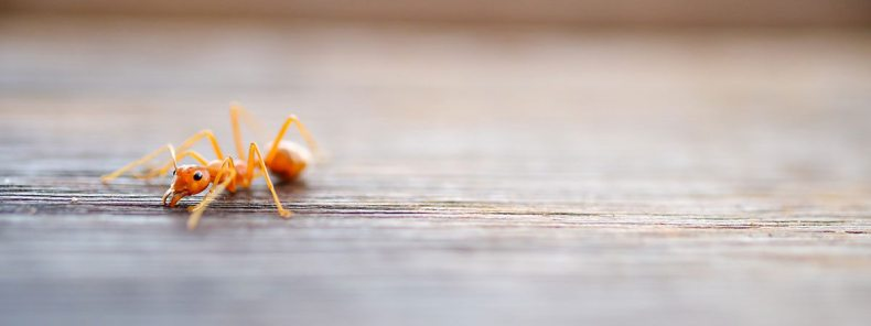 One ant inside your home mean more will soon follow