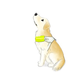 Pearl 2 - Golden Retriever in a Guide Dog Jacket