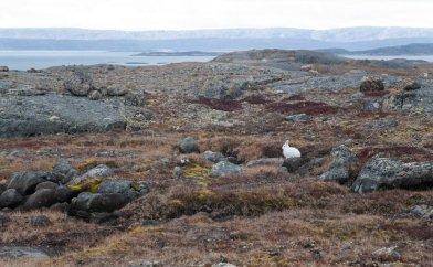 Arctic Hare (16)