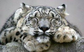 Snow Leopard3