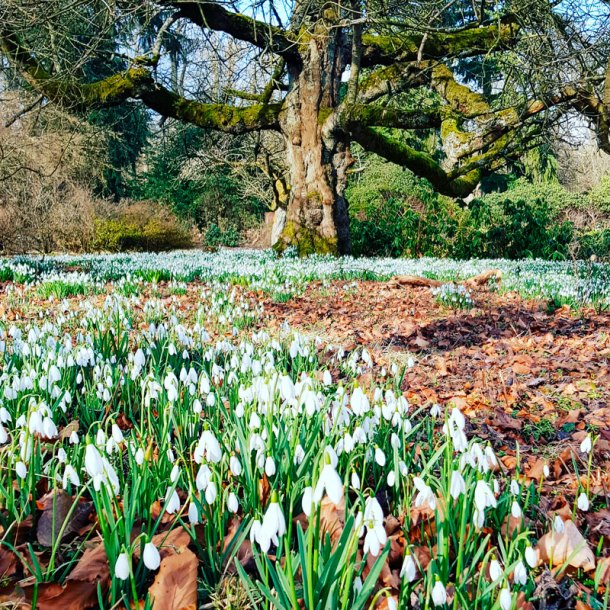 snowdrops at Swinton Park