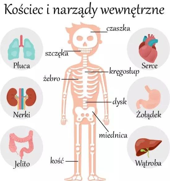 Скелет и внутренние органы на польском языке