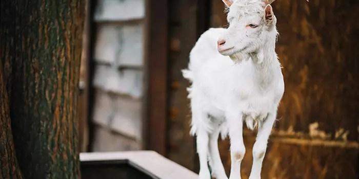 Пословицы и фразеологизмы о козах на польском языке