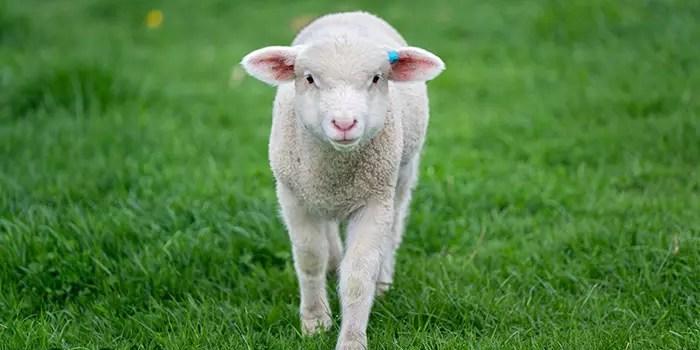 Фразеологизмы о баранах и овцах на польском языке