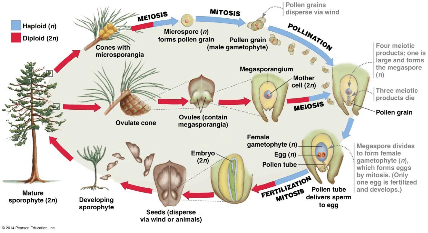 Gymnosperm Reproduction Worksheet