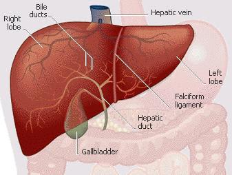 Digestive System Anatomy: C Flashcards by ProProfs