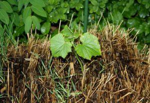 Огурцы на соломе: технология выращивания и правила ухода ...