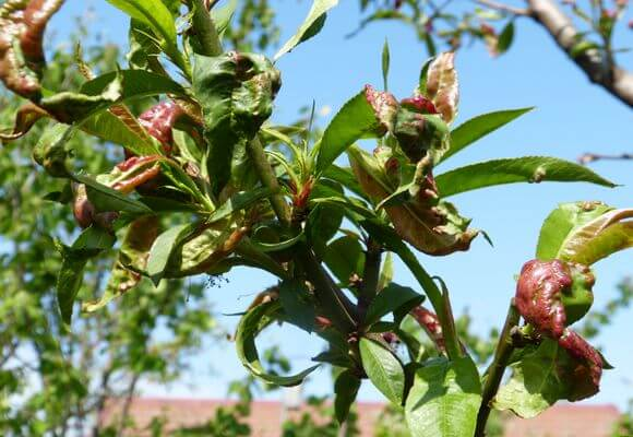 Курчавость листьев персика: лечение и обработка, видео и фото