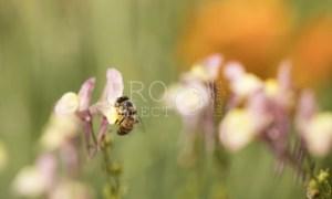 Pollen gatherer. Bee on flower