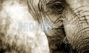 African Elephant eye | ProSelect-images