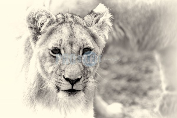 Lions of Tava Lingwe   ProSelect-images