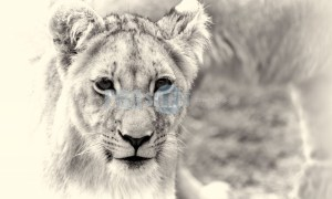 Lions of Tava Lingwe | ProSelect-images