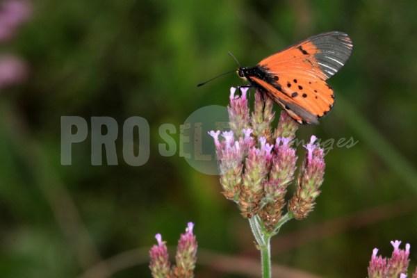 Acraea horta Moreletta Reserve | ProSelect-images