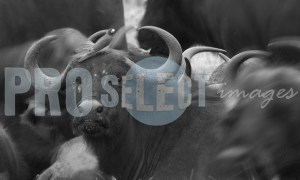 African Buffalo (Syncerus caffer) | ProSelect-images