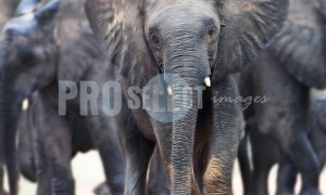 African Elephants | ProSelect-images