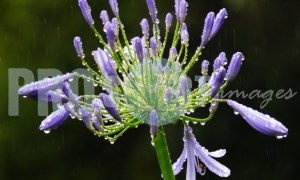 Agapanthus Flower | ProSelect-images