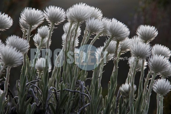 Asteraceae cape snow | ProSelect-images