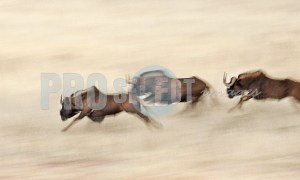 Black Wildebeest running | ProSelect-images