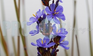 Blue flax perennial | ProSelect-images