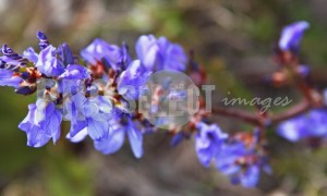 Blue Flower West Coast | ProSelelct-images