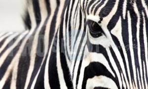 Burchell's Zebra Quagga | ProSelect-images