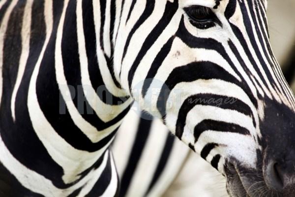 Burchells Zebra Face | ProSelect-images