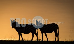 Burchells Zebras silhouette | ProSelect-images