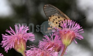 Butterfly Acraea horta | ProSelect-images