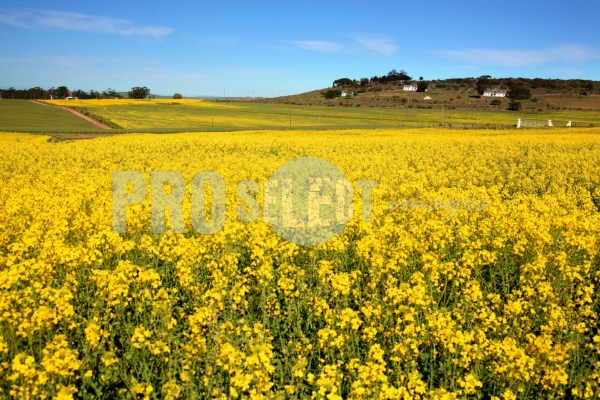 Canola fields Overberg | ProSelect-images