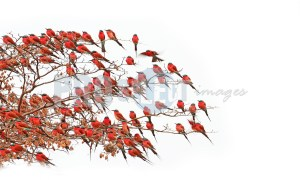 Carmine bee eaters on branch | ProSelect-images