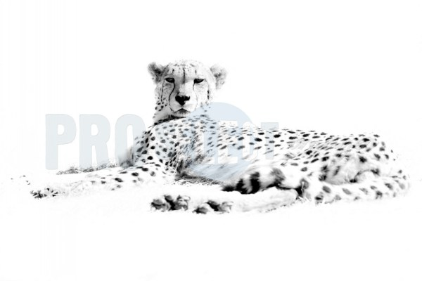 Cheetah lying in grass | ProSelect-images