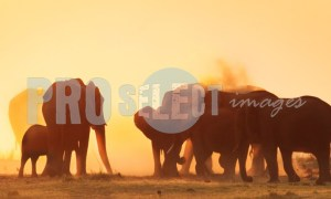 Chobe Elephants | ProSelect-images